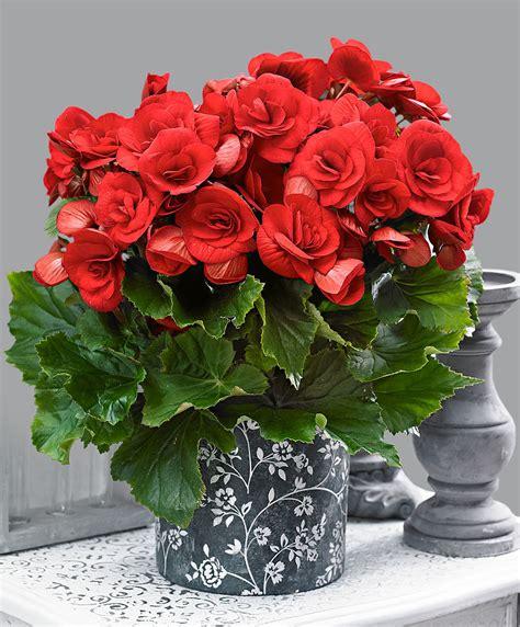 Indoor House Plant achetez maintenant une plante d int 233 rieur b 233 gonia d