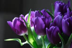 flowers for flower purple tulip flowers pictures
