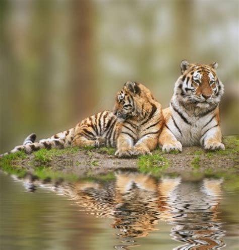 imagenes de tigres verdes devo stare molto calma seigattipotesseroparlare