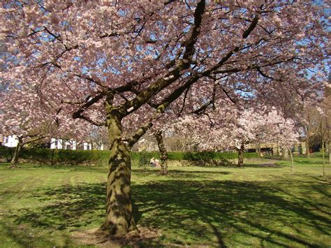 panoramio photo of early spring flowering cherry blossom trees 2 abbeyfield park pitsmoor