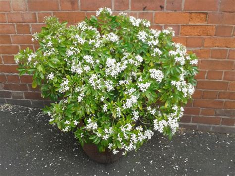 flowering shrubs for sale choisya shrubs for sale at trees direct