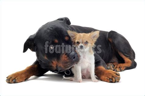 rottweiler chihuahua puppies pets rottweiler and puppy chihuahua stock image i3061900 at featurepics