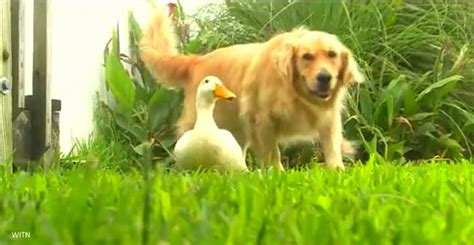 best duck dogs and duck are best friends