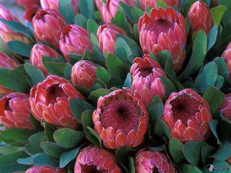 protea fiore protea
