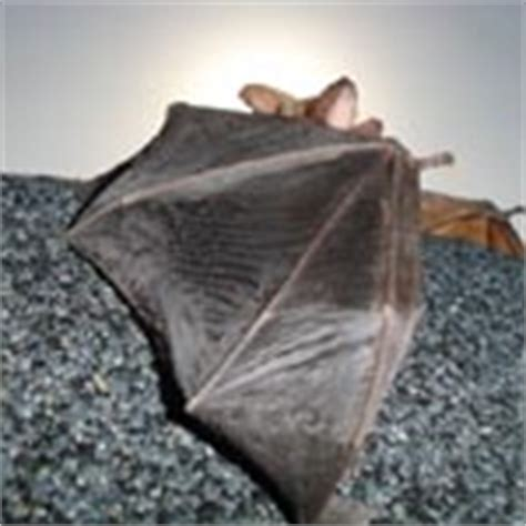 winter bats in massachusetts and rhode island bat guys