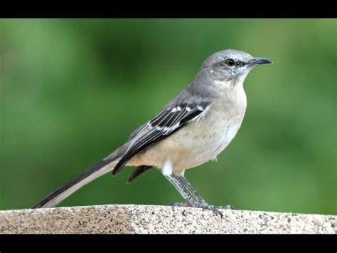 mockingbird singing all night long youtube