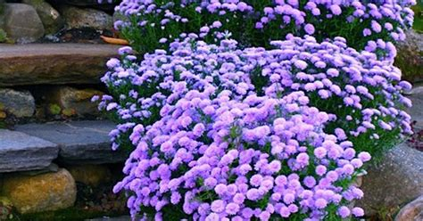 lavender container garden container gardening pots of lavender colored asters on