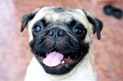 pug behavior traits 15 factual personality traits you likely didn t about pugs