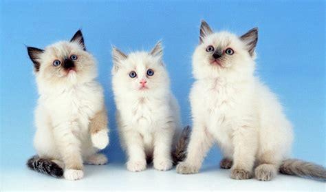 ragdoll 10kg gatos peludos tudo sobre gatos