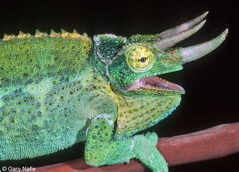jackson s chameleon chamaeleo jacksonii