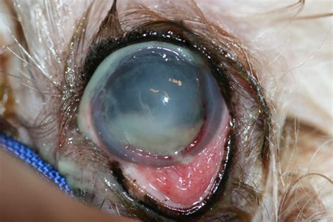 ulcers in dogs how to remove a callus on your finger wart remover scala how to treat a corneal