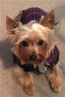 yorkie vest the cutest yorkie photo gallery