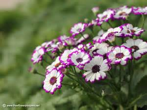 Flower Pic by Cineraria Pictures Cineraria Flower Pictures