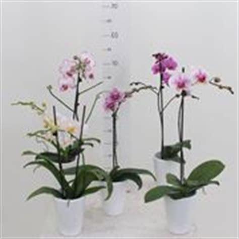 orchidea coltivazione in vaso orchidee in vaso orchidee coltivazione orchidee in vaso