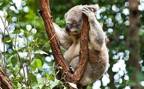 koala schlaf australien koala schlaf im baum pflanzenfressende tiere