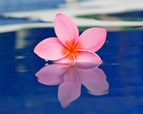 Frangipani A Novel 1000 images about plumaria image references for on