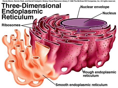 Smooth Endoplasmic Carcinogenic Detox by Human Biology Lab Smooth Endoplasmic Reticulum