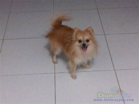 pomeranian and husky mix price pomeranian husky mix for sale price clinic breeds picture