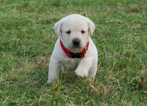 oregon puppies for sale chion labrador retriever puppies for sale labrador puppies for sale