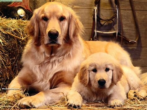 golden retriever and labrador retriever golden y labrador retriever diferencias ella