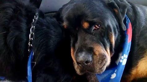 dead rottweiler rottweiler grieves for dead animals do emotions
