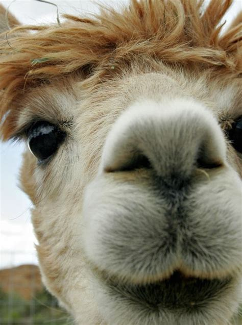 Gorgeous Alpaca From by Look At The Beautiful Of An Alpaca Stuff I Like