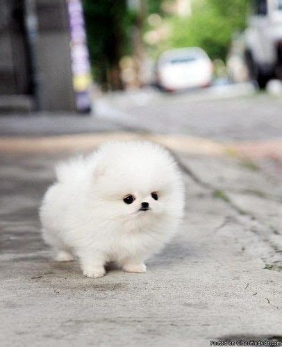 fluffy white pomeranian fluffy white pomeranian puppy maltese kittens litle pups