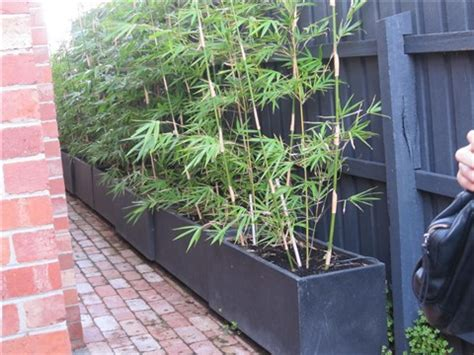 bamboo pots for privacy willsmother galleries digital