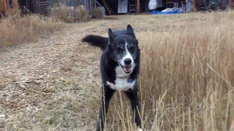 dog running around house maxresdefault jpg