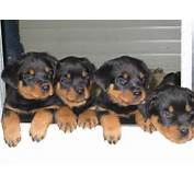 Nombres Para Perros Caracteristicas De Los Rottweiler