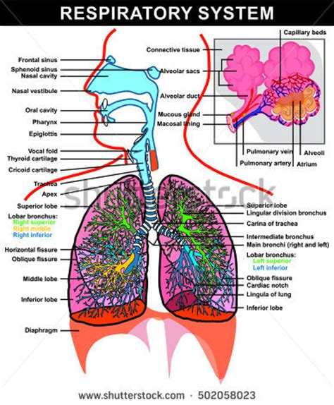 images of the respiratory system alveoli stock images royalty free images vectors