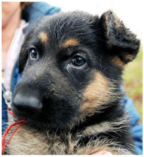 biden puppy joe biden s new german shepherd puppy reflections