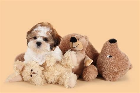 teddy breed teddy everything about teddy puppies