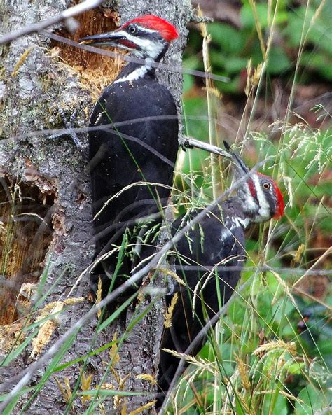 pileated woodpecker edmonton area land trust