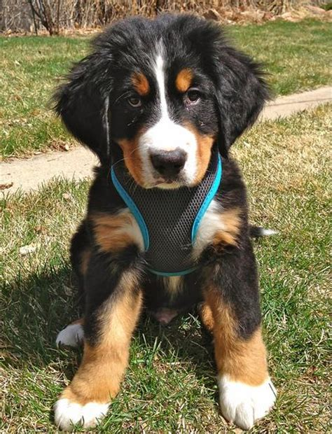 bernese mountain puppies colorado dogs in alamosa colorado for adoption or adoption breeds picture