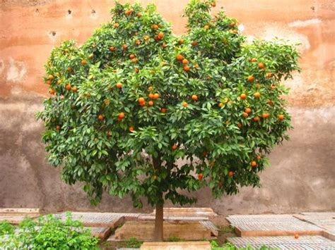 patio orange tree how to grow an orange tree from seed the garden of eaden