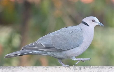 grey dove with black ring around neck ring necked dove birdforum opus