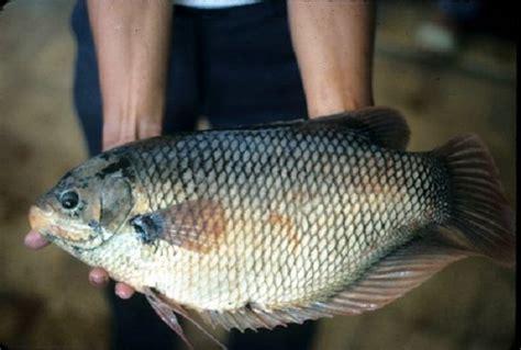 Ikan Gurame Padang Besar budidaya ikan gurame soang panen cepat untung berlipat