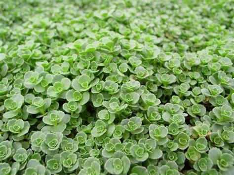 bear creek nursery common sedum plant names plant images a z
