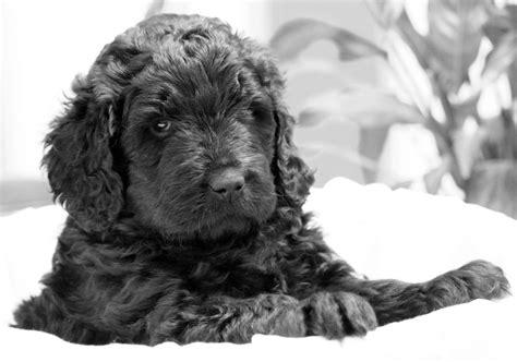 newfypoo puppies newfypoo puppies one left kettering northtonshire pets4homes