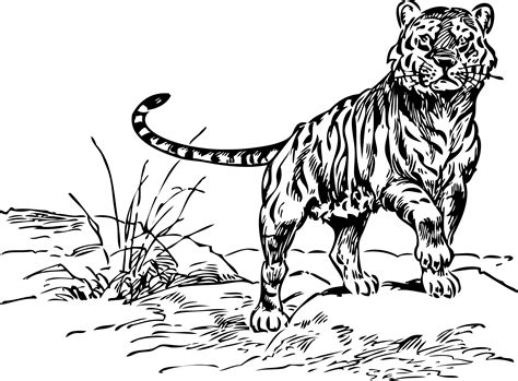 Black And White Tiger Drawings Clipart Best White Tiger Coloring Pages