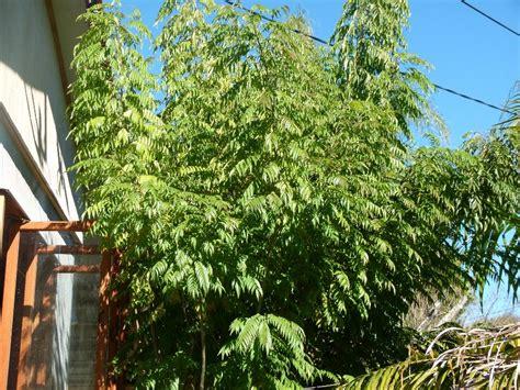 Tree Plant - curry tree herb murraya koenigii