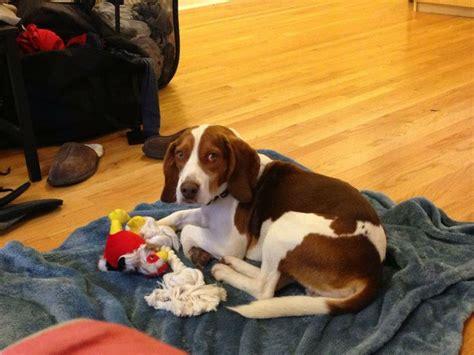 100 best beagle shedding dogs images on