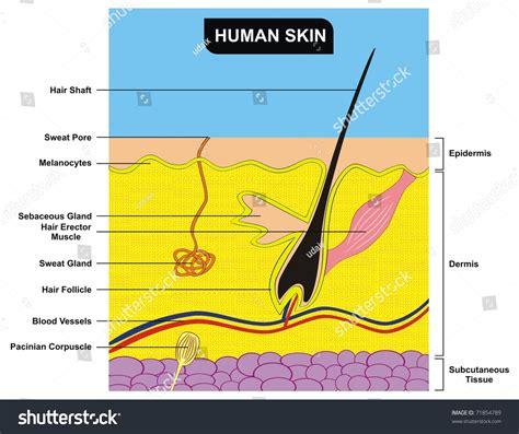 human skin layer vector cross section stock vector 520713712 istock vector human skin cross section stock vector 71854789