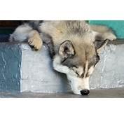 Husky Sleepy Head  HD Desktop Wallpapers 4k