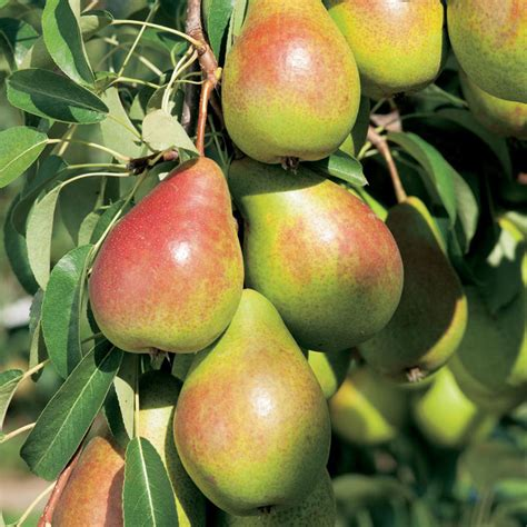 fruit trees in gourmet fruit tree pear all fruit trees fruit trees