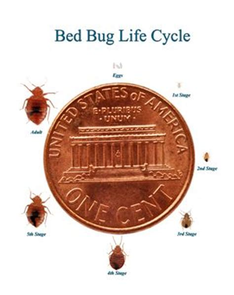 bed bug stages bed bug life stages myth vs facts bed bugs pinterest