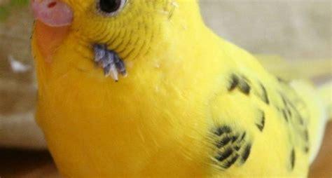 riproduzione cocorite in gabbia cocorite riproduzione pappagalli riproduzione delle