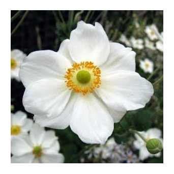 fiori da ombra perenni erbacee perenni da ombra