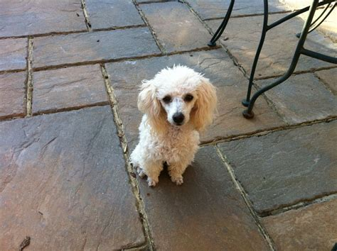 mini poodle for sale poodle for sale lancing west sussex pets4homes
